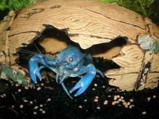Bluelobster2